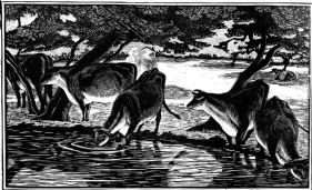 wood-engraving original print: Cows Drinking